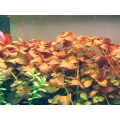 Ludwigia Repens 'red'