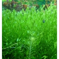 Rotala sp. 'green'