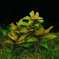 Alternanthera Reineckii 'mini'